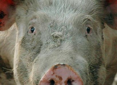 «Геноцид» свиней России