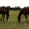 В Омской области объявили карантин по анемии лошадей