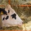 Административное преследование грозит фермерам, сокращающим поголовье КРС