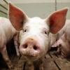 Россельхознадзор: Чуму свиней в Омской области скрывали полтора месяца