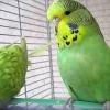 В Омске попугаи заболели смертельной инфекцией