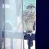 На одном из омских балконов была замечена хищная птица