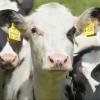 В 2018 году в Омской области вводят обязательное чипирование скота