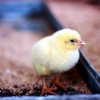 Из Омской области не выпустили две партии суточных цыплят