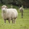 В Омской области задержали овечьи шкуры без документов