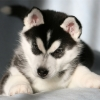 Неизвестные рассылали из Омска несуществующих щенков хаски