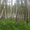 Вокруг Омска в 2017 году появится 30-километровый «зеленый пояс» из хвойных деревьев