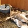 В Омске неизвестные издевались над лебедем-шипуном