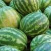 В Омской области запретили к ввозу 36 тонн арбузов