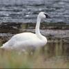 За убийство лебедя в Омской области охотник пойдет под суд