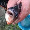 В Омске рыбак поймал черную паку из семейства пираньевых