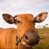 Омичка получила корову в подарок от депутатов