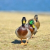 В Сибири зарегистрировано заражение птичьим гриппом