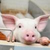 В Омске получили породу свиньи с лучшими мясными качествами
