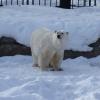 Старейшему белому медведю Омской области исполнилось 29 лет