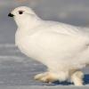 В Омской области были замечены редкие белые куропатки