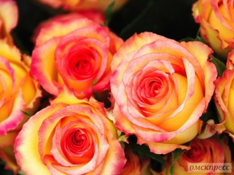 Прекрасные свежие розы из Голландии по доступным ценам в городе Москва!