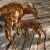 В Большереченском зоопарке родила вторая жена оленя