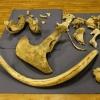 За контрабанду костей мамонта омичам дали условные сроки