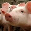 Пострадавшим от чумы свиней омским фермерам выплатили 32 млн рублей компенсаций