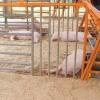 АЧС не помешала увеличить выпуск свинины на 10,9%