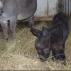 В Большереченском зоопарке родился необычный ослик