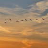 Пеликаны с озера Тенис Омской области улетели на Юг