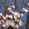 В центре Омска высадят более 300 саженцев миндаля и абрикоса