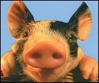 Свиньи в залоге