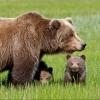 За последние семь лет в омских лесах в 2,4 раза стало больше медведей