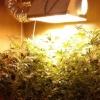 Омич в двух комнатах вырастил 22 куста наркосодержащего растения