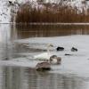 Об оставшихся в Омской области лебедях заботятся в Ачаирском монастыре и «Птичьей гавани»