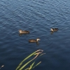 Омичей удивили утки, плавающие в луже