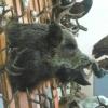 В угодьях Омской области заканчивается сезон охоты на кабана и пушных зверей