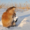 Охотники омского региона могут половить ондатр до 1 апреля