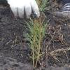 В Омской области 30 человек высадили более 2 тысяч деревьев