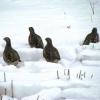 Серые куропатки оценили расчищенные от снега дороги в Омской области