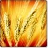 Урожай обеспечит потребности Прииртышья