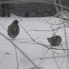 В дендропарки Омска прилетают кормиться серые куропатки