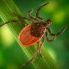 Почти 300 омичей пострадали от укусов клещей
