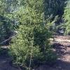 «Зеленый пояс» Омска станет зеленее на полмиллиона деревьев