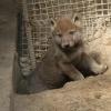 В Большереченском зоопарке мать-волчица показала малышей