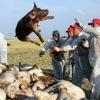 Ещё два личных хозяйства Омской области оставили без свиней