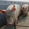 В Омске справились с африканской чумой свиней