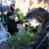 Омичам продадут 10 тысяч саженцев сосны по 10 рублей за штуку