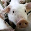 В двух населенных пунктах Омской области могут продлить карантин по чуме свиней