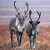 В Омске разводят оленей