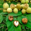 В апреле на улицах Омска высадят манчьжурский орех