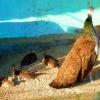 В семействе яков, оленей и павлинов из Большереченского зоопарка появилось потомство
