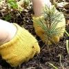 В Омске раздадут 50 тысяч сосен